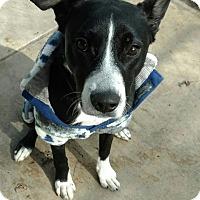 Adopt A Pet :: Chloe-adoption pending - Hanna City, IL