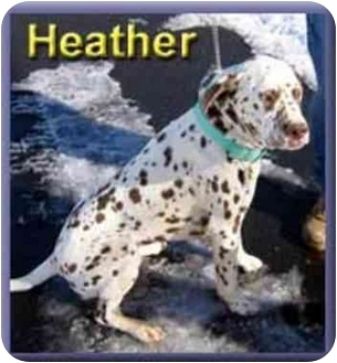 Dalmatian Mix Dog for adoption in Aldie, Virginia - Heather