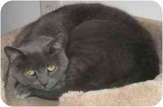 Domestic Shorthair Cat for adoption in Powell, Ohio - Nellie