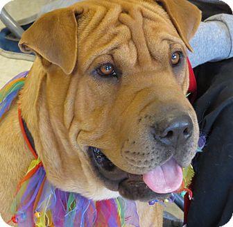 Shar Pei Mix Dog for adoption in Scottsdale, Arizona - Tiny