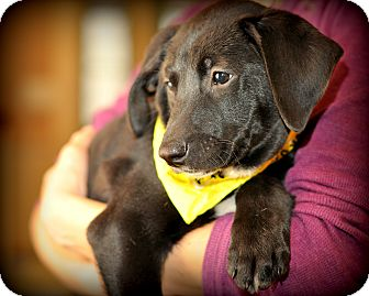 Treeing Walker Coonhound/Labrador Retriever Mix Puppy for adoption in Sparta, New Jersey - Hershey