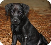 Labrador Retriever Puppy for adoption in Philadelphia, Pennsylvania - Callie
