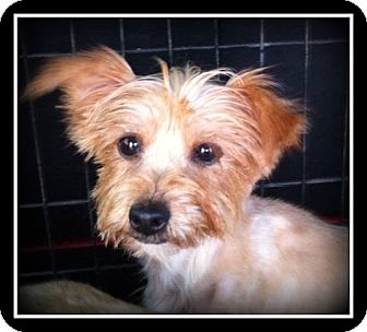 Yorkie, Yorkshire Terrier Mix Dog for adoption in Indian Trail, North Carolina - Carmen
