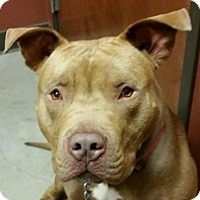 Adopt A Pet :: Big Head Red - Denton, TX