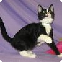 Adopt A Pet :: Siegfried - Powell, OH