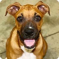 Adopt A Pet :: Gemma - Austin, TX