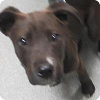 Adopt A Pet :: Priscella - Lincolnton, NC