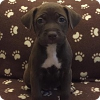 Adopt A Pet :: Pepper - Royal Palm Beach, FL