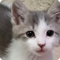 Adopt A Pet :: Kovu - LaJolla, CA