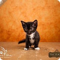 Domestic Shorthair Cat for adoption in Ottawa, Kansas - Cleocatra