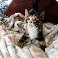 Calico Kitten for adoption in Chandler, Arizona - Quinn