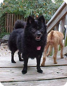 Schipperke/Pomeranian Mix Dog for adoption in Dahlgren, Virginia - Sophie Marie - 11 lbs