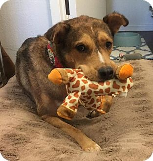 Shepherd (Unknown Type) Mix Dog for adoption in Orange, California - Bernie Boy