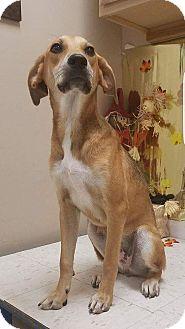 Hound (Unknown Type)/Labrador Retriever Mix Dog for adoption in Patterson, New York - Daisey