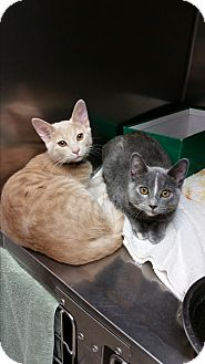 Domestic Shorthair Kitten for adoption in Chippewa Falls, Wisconsin - Rowlynn