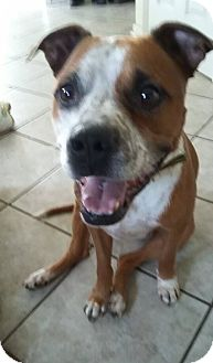 Boxer Mix Dog for adoption in Greensboro, North Carolina - PINTO