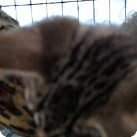 Domestic Shorthair Kitten for adoption in Yuba City, California - Dopey