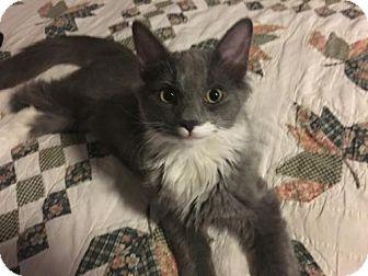 Domestic Mediumhair Kitten for adoption in Cincinnati, Ohio - Carlo