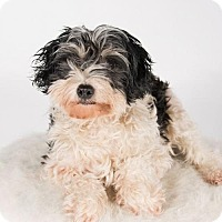 Chinese Crested/Toy Poodle Mix Dog for adoption in St. Louis Park, Minnesota - Felicity