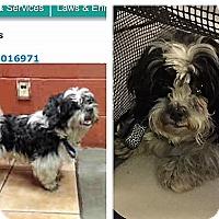 Adopt A Pet :: Charlie - Playa Del Rey, CA