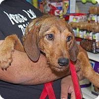 Adopt A Pet :: Candy - Brooklyn, NY