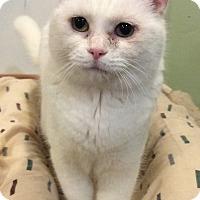 Adopt A Pet :: Fluffy - Breinigsville, PA