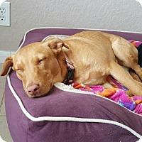 Labrador Retriever Mix Dog for adoption in Von Ormy, Texas - Sweet Pea