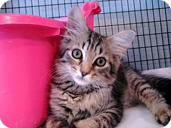 Domestic Mediumhair Kitten for adoption in Deerfield Beach, Florida - Izzy