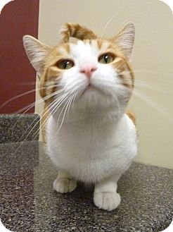 Domestic Shorthair Cat for adoption in Chicago, Illinois - Hobbes