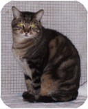 Domestic Shorthair Cat for adoption in El Cajon, California - Big Head Fred