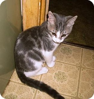 Domestic Shorthair Kitten for adoption in Kirkwood, Delaware - Avery