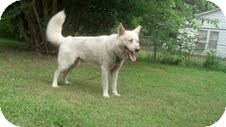 Husky Mix Dog for adoption in Homewood, Alabama - Zeus the Husky