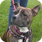Pit Bull Terrier Mix Dog for adoption in Wheaton, Illinois - Dutch