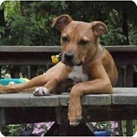 Adopt A Pet :: Foxy - Reisterstown, MD
