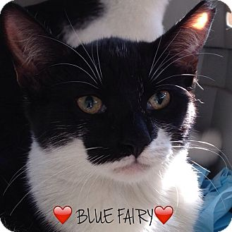 Domestic Shorthair Cat for adoption in Great Neck, New York - BLUE FAIRY