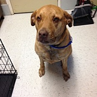 Labrador Retriever Mix Dog for adoption in Mine Hill, New Jersey - Luella