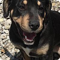 Adopt A Pet :: RUNTY ROO - Cadiz, OH
