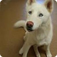 Adopt A Pet :: Saber - Las Vegas, NV