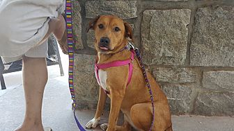 Labrador Retriever/Collie Mix Dog for adoption in Lawrenceville, Georgia - Minnie