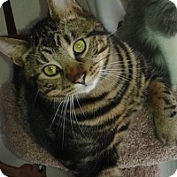 Domestic Shorthair Cat for adoption in Lindsay, Ontario - Coco