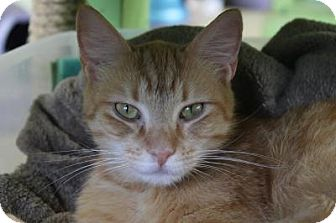 Domestic Shorthair Cat for adoption in Indianapolis, Indiana - Yolanda