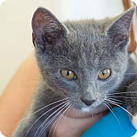 Domestic Shorthair Kitten for adoption in Knoxville, Tennessee - Charlie