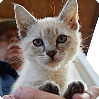 Siamese Kitten for adoption in Prosser, Washington - Whismur - Has been adopted!
