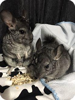Chinchilla for adoption in Alexandria, Virginia - Bert and Ernie
