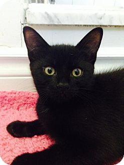 Domestic Shorthair Kitten for adoption in Thornhill, Ontario - Sven
