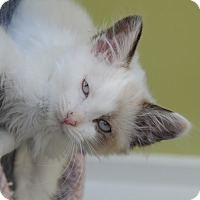 Adopt A Pet :: Snow White - Agoura Hills, CA