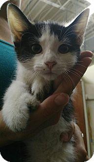 Domestic Shorthair Kitten for adoption in East McKeesport, Pennsylvania - Kittens