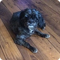 Shih Tzu/Poodle (Miniature) Mix Dog for adoption in Baltimore, Maryland - Bud D.