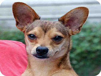 Chihuahua Dog for adoption in Fort Walton Beach, Florida - RYDER