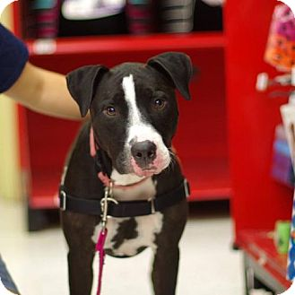Pit Bull Terrier/Labrador Retriever Mix Dog for adoption in Gainesville, Florida - Lucy